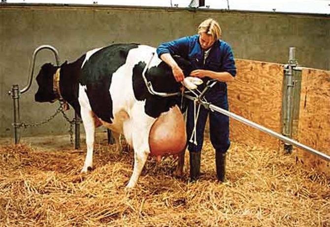 calving-jack.jpg